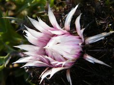 Ceahlau - flori de munte