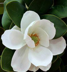 For A Dear Friend by Doll-Ladi on DeviantArt - magnolia Flor Magnolia, Magnolia Flower, Exotic Flowers, White Flowers, Beautiful Flowers, Magnolias, Botanical Art, Flower Photos, Ikebana
