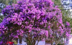 Twilight Crape Myrtle