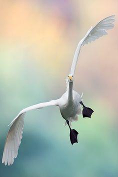 geen tuinvogel maar deze foto is wel heel bijzonder! Swan by Stegafano Ronchi