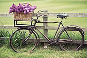 Lilacs on a vintage bicycle by Ruth Black - Bicycle - Stocksy United