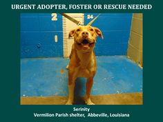 ***SUPER SUPER URGENT!!!*** - PLEASE SAVE SERINITY!! - EU DATE: 9/17/2015 -- Serinity Breed:Pit Bull Terrier Age: Young adult Gender: Female Size: Medium Location: Kaplan, LA  Read more at http://www.dogsindanger.com/dog/1441899825329#qfPMU8R8S2tIouRM.99 - About Serinity: 9/9/15-S Serinity is a female pit and is 2 yrs old and weighs 47.8 lbs.Will be available 9/14/15. https://www.youcaring.com/aava-431019 *Please note this animal is not with AAVA - we are networking for rescue as the liai