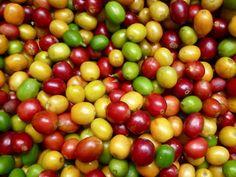 Arabica coffee cherries from an organic coffee farm in Nicaragua