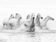 White Horses of Camargue Running Through the Water, Camargue, France Photographic Print at AllPosters.com