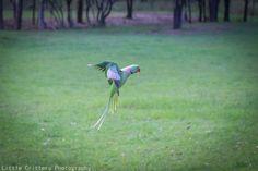 Grande alessandrino - Alexandrine Parakeet -  Psittacula eupatria