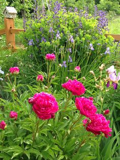 Beautiful combination. Peony, Siberian Iris, and False Indigo.