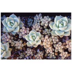 #succulent#succulents#多肉#多肉植物#graptopetalum#グラプトペタルム#姫秋麗#echeveria#エケベリア#白牡丹 by sharp_pencil96