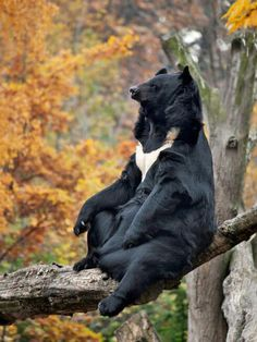 Asian black bear (Ursus thibetanus), also known as the moon bear/ Oso Negro Asiático u Oso Luna. Nature Animals, Animals And Pets, Funny Animals, Cute Animals, Animals Images, Wild Animals, Baby Animals, Beautiful Creatures, Animals Beautiful