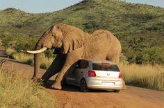 Afrique du Sud : quand un éléphant se sert d'une voiture pour se... gratter ! - Afrik.com : l'actualité de l'Afrique noire et du Maghreb