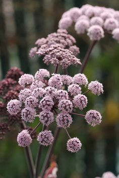 Angelica 'Purpurea' (Angelica stricta).