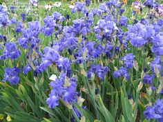 Full size picture of Tall Bearded Iris 'Blue Jay Way' (Iris)