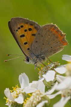 Kleiner Feuerfalter (Lycaena phlaeas) Biology, Moth, Butterflies, Quilts, Animals, Beautiful, Flowers, Wonderful Flowers, Nice Asses