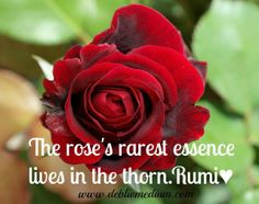 The Rose's rarest essence lives in the thorn .. Rumi