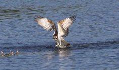 #Fischadler am #Ahlbecker #See in der Nähe vom Stettiner Haff. Foto: Kati Warmbier / Nordkurier #meckpomm #natur #naturschutzgebiet #vogel #fischen #see