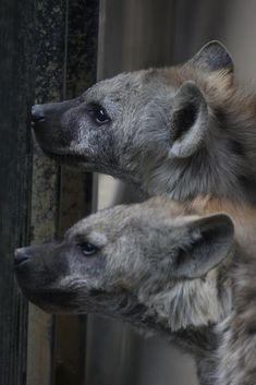 明日豚の画像 エキサイトブログ (blog) Animals And Pets, Funny Animals, Cute Animals, Amphibians, Mammals, African Wild Dog, Kitten Love, Little Critter, Wild Dogs