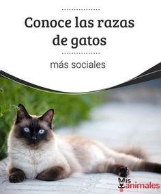 Conoce las razas de gatos más sociales Compañeros, mimosos, divertidos. En este post te mostramos cuáles son las razas de gatos que se llevan mejor con las personas. ¿Cuál es tu favorito? #sociales #razas #compañeros #curiosidades
