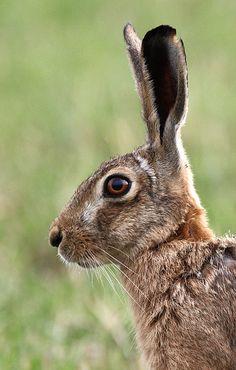 owls-n-elderberries: Hare yesterday by Kip Loades on Flickr.