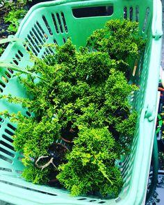 Pre Shimpaku Pre Bonsai, Juniper Bonsai, Herbs, Japanese, Plants, Japanese Language, Herb, Plant, Planets