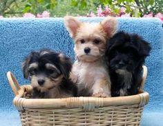 Cute morkie puppies