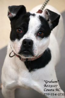 """A-20 Graham IDA029107 EXTREMELY URGENT! Pointer, Boston Terrier Mix Male 1 year """"Graham"""" is full of life & loves to play. He desperately tries to get your attention when you walk by his kennel. When he is noticed...he has a """"life celebration"""" & jumps for joy. He prances in the yard & loves the smells in the yard. It's the simple joys that """"Graham"""" is truly thankful for.PLEASE HURRY! This pet has been at the shelter since 11/05/14!! COWETA COUNTY ANIMAL CONTROL: 770-254-3735. Newnan, GA."""