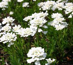 20 cm winterhard bladhoudend, bloei 5,6,7