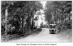 An early car drives through a eucalyptus grove in the North Cragmont development in the Berkeley hills. Eucalyptus were thought of as a miracle tree: they soaked up the water of damp lots; served an effective wind break; provided a fragrant oil for mineral baths; and were a cash crop for timber. Photo from Richard Schwartz's book 'Berkeley 1900: Daily Life at the Turn of the Century.'