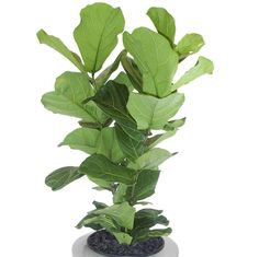 Ficus lyrata (Fiddle-Leaf Fig)