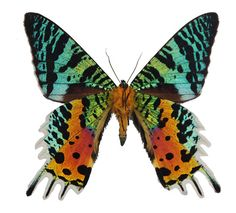 Urania ripheus, Underside - Sunset Moth - The Madagascan sunset moth is a day-flying moth. It is considered one of the most beautiful and impressive flying insects. It is famous worldwide and is featured in most coffee table books on Lepidoptera.