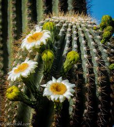 """""""Saguaro in Bloom"""" by Pat Kofahl"""