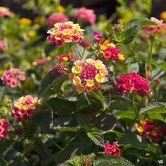 Lantana — Green Acres Nursery & Supply Plants, Attract Butterflies, Lantana, Showy Flowers, How To Attract Birds, How To Attract Hummingbirds, Perennials, Lantana Plant, Hanging Baskets