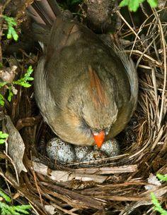 Female Cardinal on Nest