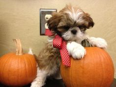 Gold & White 8 wk Shih Tzu Puppies!! non shed and playful