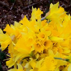 Spring, I brought daffodil bulbs with me from Arkansas and even after being in storage from June to Sept., they are now starting to break through the hard, red dirt of Saint George, UT.  Daffodills are tough as well as beautiful.