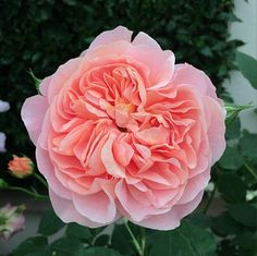 The Best Blooms From London's Chelsea Flower Show: David Austin Rose