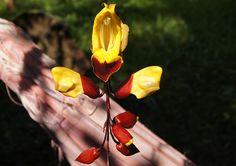Nome Científico: Thunbergia mysorensis  Nomes Populares: Sapatinho-de-judia  Família: Acanthaceae  Origem: Ásia, Índia  Clima: Equatori...