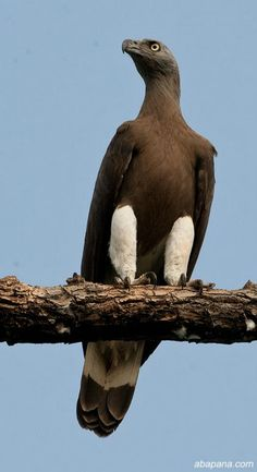 **Grey-headed Fish-Eagle