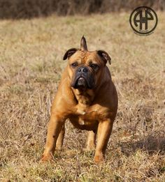AP Rokkett in February 2017. Mother and Grandmother of stunning Dogs! Continental Bulldog  www.asgards-pride.com