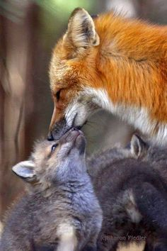 A Mothers Love by Sharon Fiedler - Red fox with young. Animals And Pets, Baby Animals, Funny Animals, Cute Animals, Wild Animals, Beautiful Creatures, Animals Beautiful, Fuchs Baby, Tier Fotos