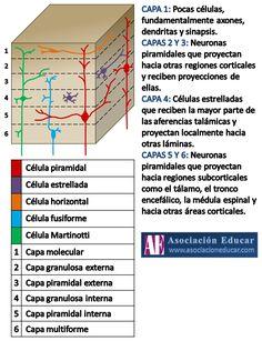 Infografía Neurociencias: Capas corteza cerebral. | Asociación Educar