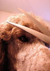 How To Trim Your Dog's Face, Feet and Tail   DIY Dog Grooming
