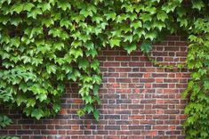 3 bareroot, English Ivy , Great In Containers,Very Hardy Native Plant ,Perennial... - Modern Design Wall Climbing Plants, Climbing Vines, Types Of Ivy, Boston Ivy, Ivy Wall, Hedera Helix, Ivy Plants, Ivy Leaf, Garden Features