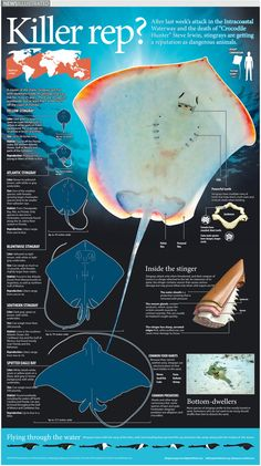 Infographic describing the anatomy and reputation of the stingray. Infographic reported, written, illustrated and designed by Belinda Ivey of KarBel Multimedia for the South Florida Sun Sentinel. Photos courtesy of Big Stock Photo. Biology Projects, Biology Art, Marine Biology, Types Of Stingrays, Great Pacific Garbage Patch, Dangerous Animals, Marine Conservation, Animal Facts, Water Life