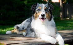 Download wallpapers Australian Shepherd, Aussie, black white dog, pets, cute animals