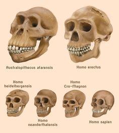 Human evolution skulls by amircea