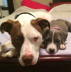 """""""Pit bulls should be banned because they're a danger to the public."""" 