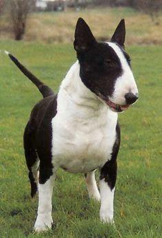 Cachorro Bull Terrier