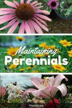 Maintain your perennials to prolong flowering season. Colorado State University, Early Spring, Gardening Tips, Perennials, Seasons, Landscape, Flowers, Plants, Gardens