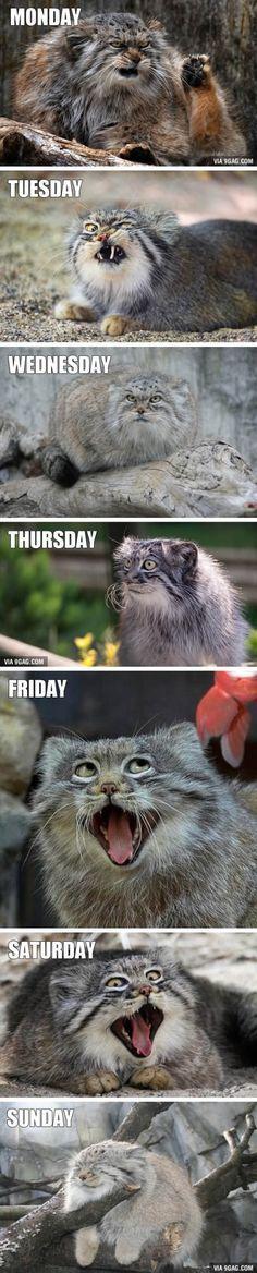 47 Ideas funny memes friday grumpy cat for 2019 Funny Animal Jokes, Funny Cat Memes, Cute Funny Animals, Funny Animal Pictures, Animal Memes, Cute Baby Animals, Animals And Pets, Cute Cats, Funny Cats