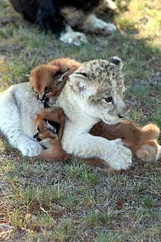 Sheba, a lion cub, cuddles up with caracal kittens Jack and Jill, in South Africa's Pumba Private Game Reserve Rehabilitation Center.