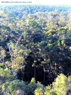 Looking out over the karri forest canopy from the top of the Dave Evans Bicentennial Tree in the Warren National Park near Pemberton, Western Australia.  Karri Forests region of Western Australia.
